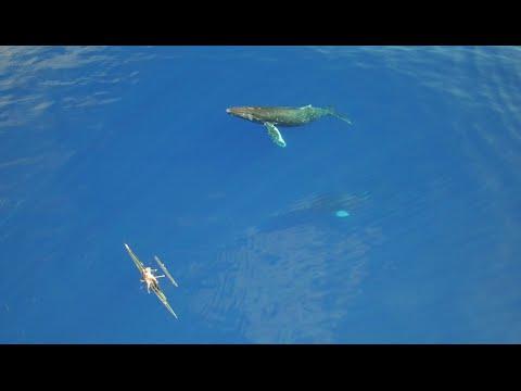 やっぱクジラはいいね!ハワイ付近で泳ぎ遊ぶクジラたち