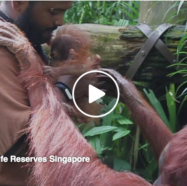 シンガポール動物園のオランウータンってこんな人間慣れしてたっけ?